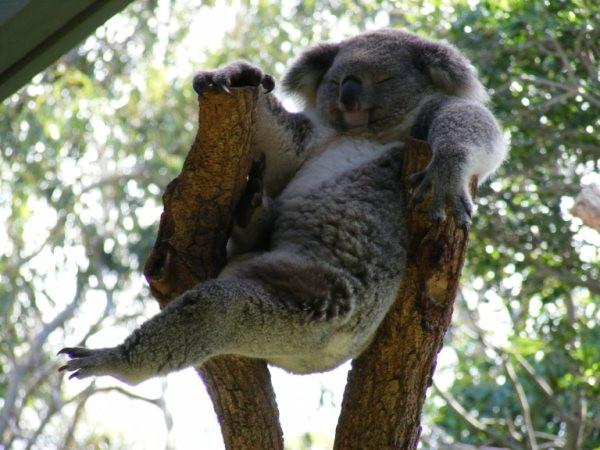 Meme Creator - Always Lazy Koala Meme Generator at ...  Funny Koala Memes
